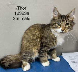Meet Thor a 3 month old 3 pound as of 1125 delightful DSH kitten He is sweet soft and super