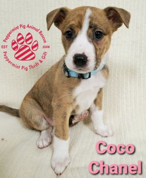 Coco Chanel ADOPTION PENDING