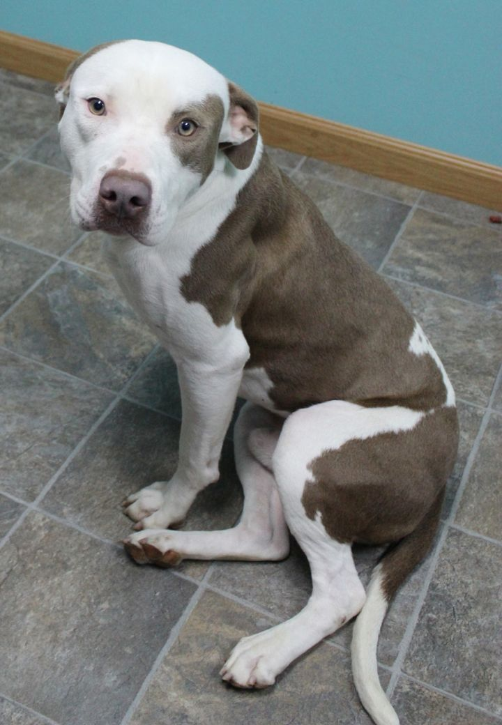 Martin, an adopted Pit Bull Terrier in Neillsville, WI