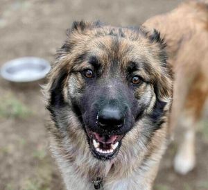 Meet Lady a gorgeous 18-month-old shepherd mix ready to find her forever home She weighs 63 lbs an