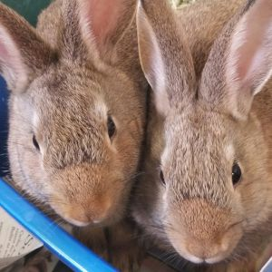 Two pet store bunnies who were supposed to both be girls had babies Mom Dad and eight babies were
