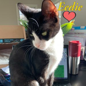 Eedie Domestic Short Hair Cat