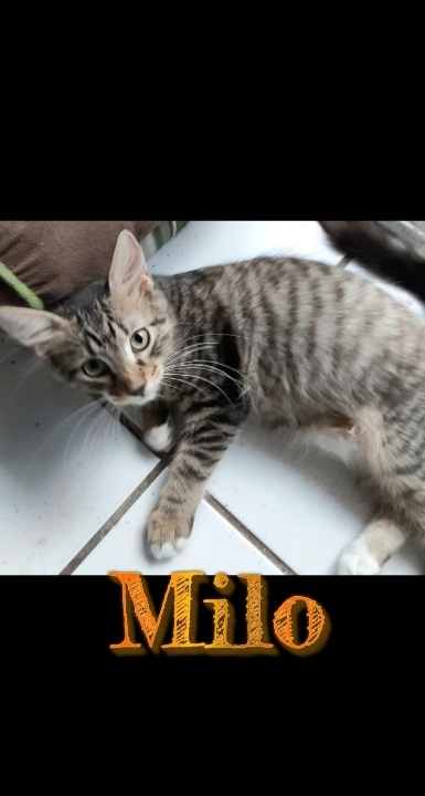 Milo, an adoptable Tabby & Domestic Medium Hair Mix in Miami, FL