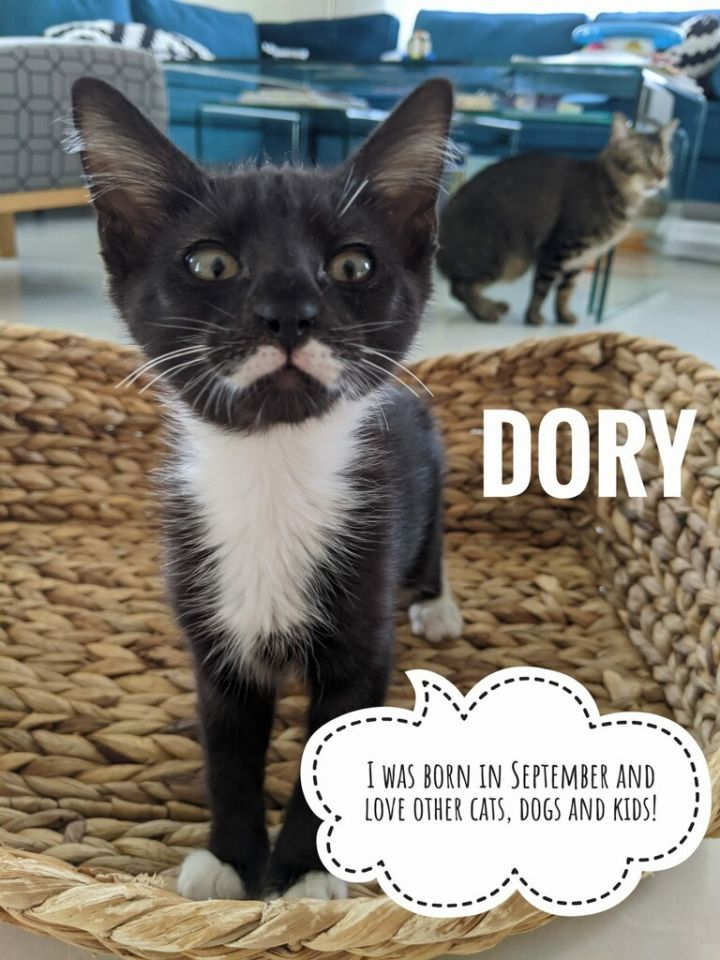 Dory, an adoptable Tuxedo & Domestic Short Hair Mix in Miami, FL_image-1