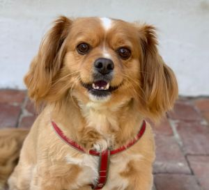 This is Chuck Chuck is a 2-3 year old male spaniel mix He has the cutest face and a wonderful