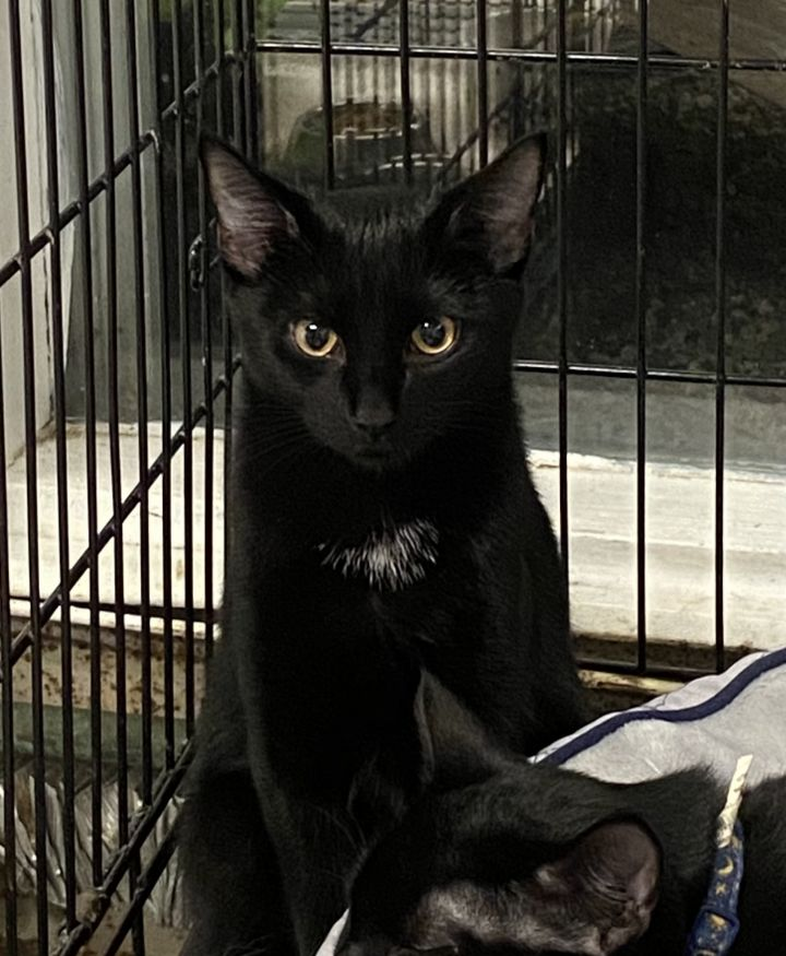 Star, an adopted Domestic Short Hair Mix in Danbury, CT