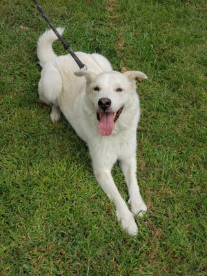 Chewy Male Great Pyreneeslab mix About 5 years old House trained Crate trained Working on leash tra