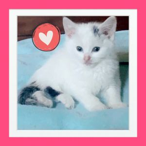 Spotsie is a very friendly  affectionate playful fluffy kitten with spots looking for a family