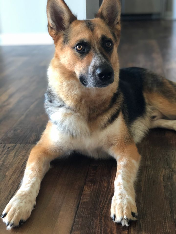 Stormy, an adoptable Australian Cattle Dog / Blue Heeler & German Shepherd Dog Mix in Fort Mill, SC