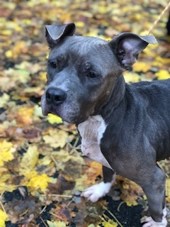 Winky, an adoptable Pit Bull Terrier Mix in Lincoln Park, NJ_image-3