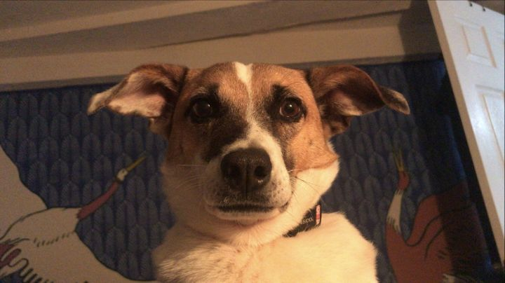 Adorable Anna, an adopted Jack Russell Terrier Mix in Reston, VA