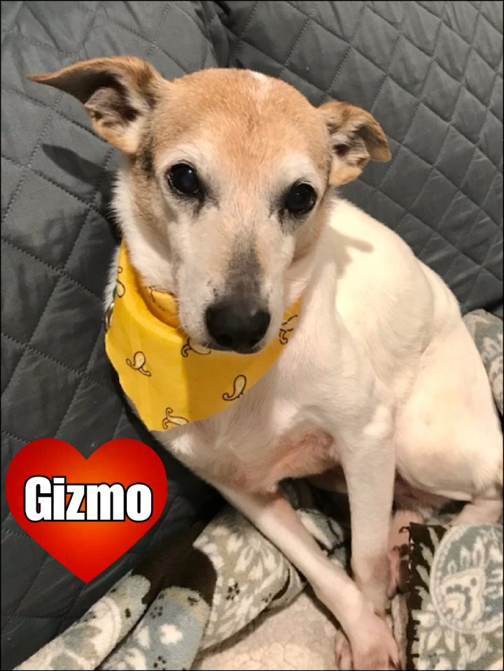 Gizmo, an adoptable Rat Terrier in Bayside, NY