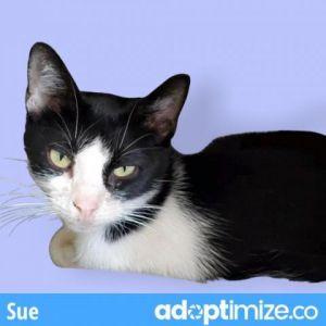 Sue Domestic Short Hair Cat
