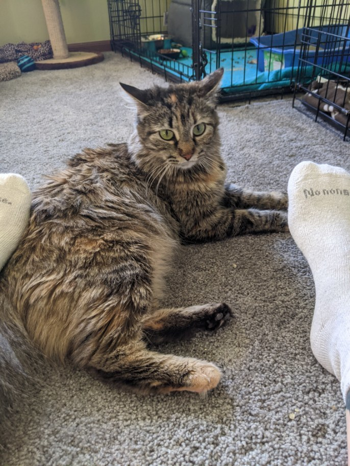 Tabitha, an adoptable Domestic Long Hair in Omaha, NE