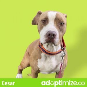 Cesar American Staffordshire Terrier Dog