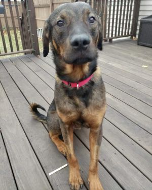 This sweet boy is a Marcus a 2 year old shepherd mix who was abandoned on the street tied up