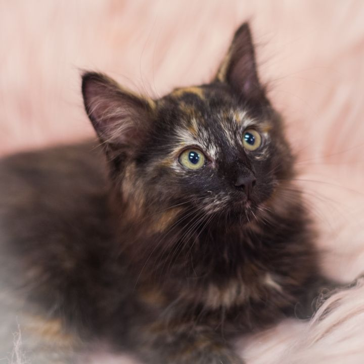 Calliope, an adopted Tortoiseshell & Domestic Long Hair Mix in Ponte Vedra, FL