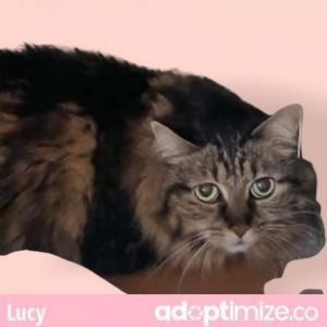Lucy Maine Coon Cat