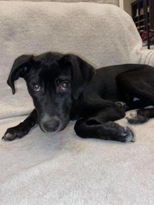 Bentley (AL) Labrador Retriever Dog