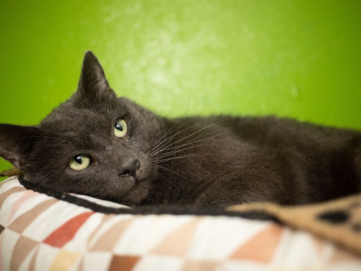 Ginsberg, an adoptable Domestic Short Hair in Los Angeles, CA