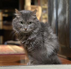 Steve Stevens Domestic Long Hair Cat