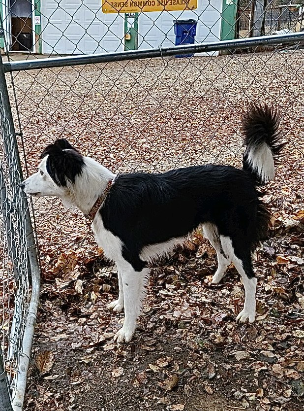 Rosie, an adopted Border Collie in Omaha, NE