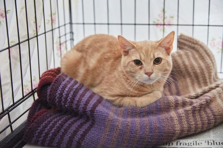 Dorito, an adoptable Domestic Short Hair in Springfield, MO