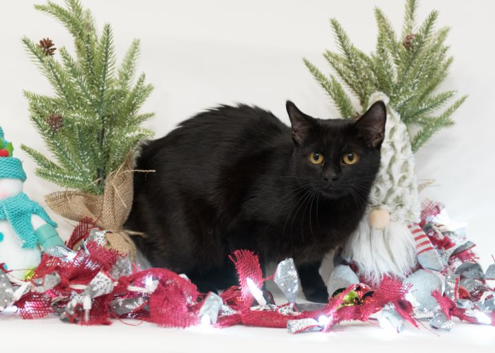 January, an adopted Domestic Short Hair Mix in Springfield, MO