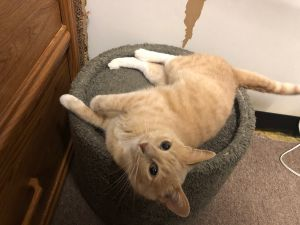 Sweetest orange tabby girl right here Marilyn was found outside and posted on one of the local site