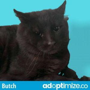 Butch Domestic Short Hair Cat