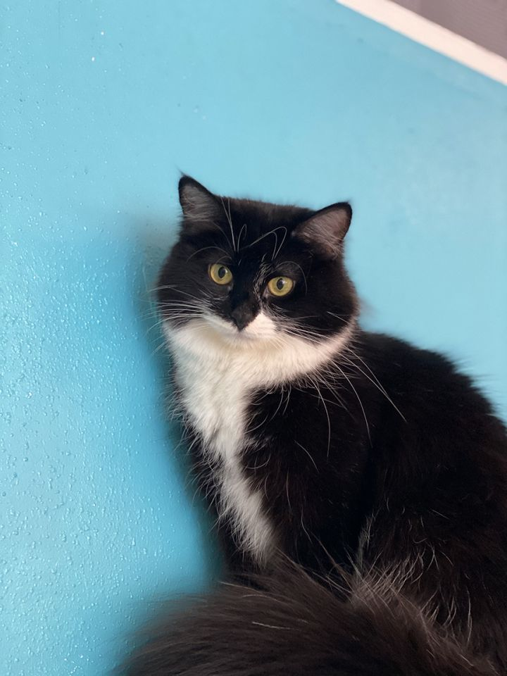 Mama Bouillon, an adoptable Domestic Long Hair in Los Angeles, CA