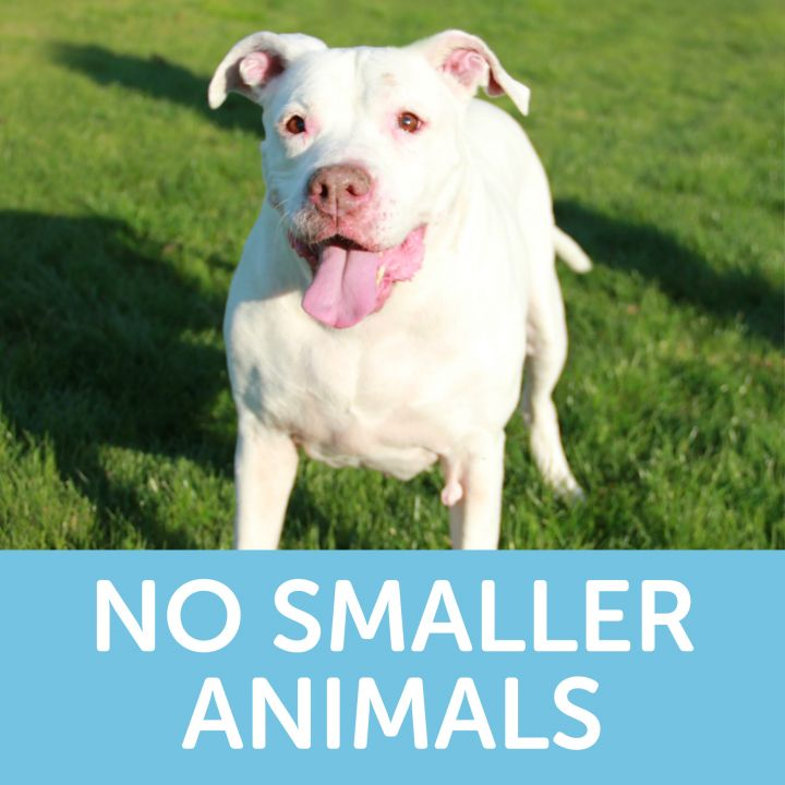 Nellie, an adoptable Pit Bull Terrier Mix in Clovis, CA