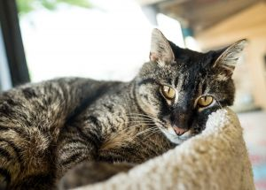 Tessa Domestic Short Hair Cat