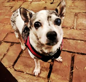 Audrey Chihuahua Dog
