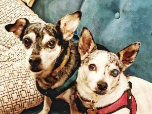 Hank Chihuahua Dog