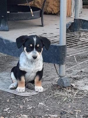 Rico (TX) Australian Cattle Dog / Blue Heeler Dog