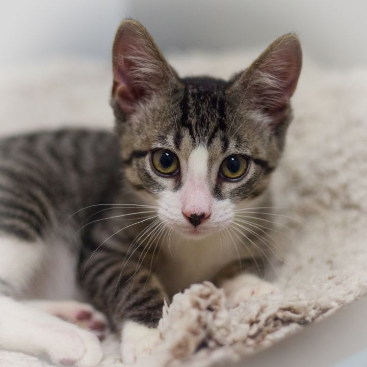 Raine, an adopted Domestic Short Hair in Ponte Vedra, FL