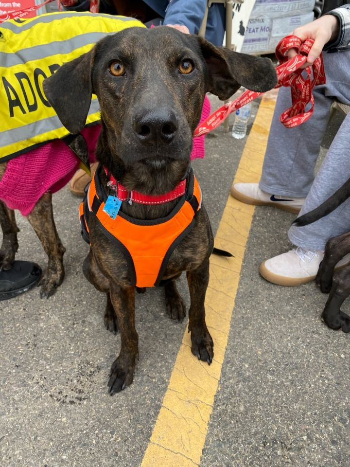 Paco PR Black Lab, an adoptable Labrador Retriever Mix in New York, NY