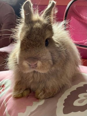 Olivier was surrendered because his owner was moving and was not allowed to have rabbits Olivier is