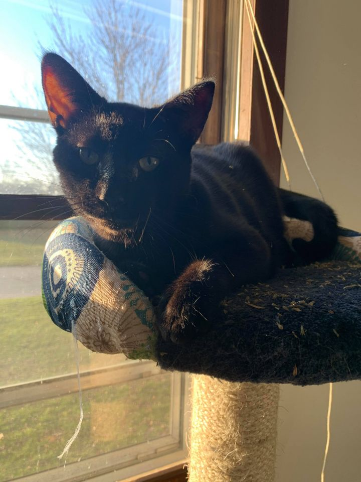 Benedict, an adoptable Domestic Short Hair in Kentwood, MI