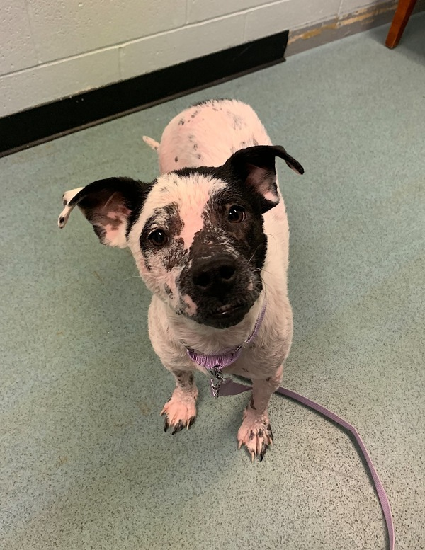 Ducky, an adoptable Terrier Mix in Louisville, KY