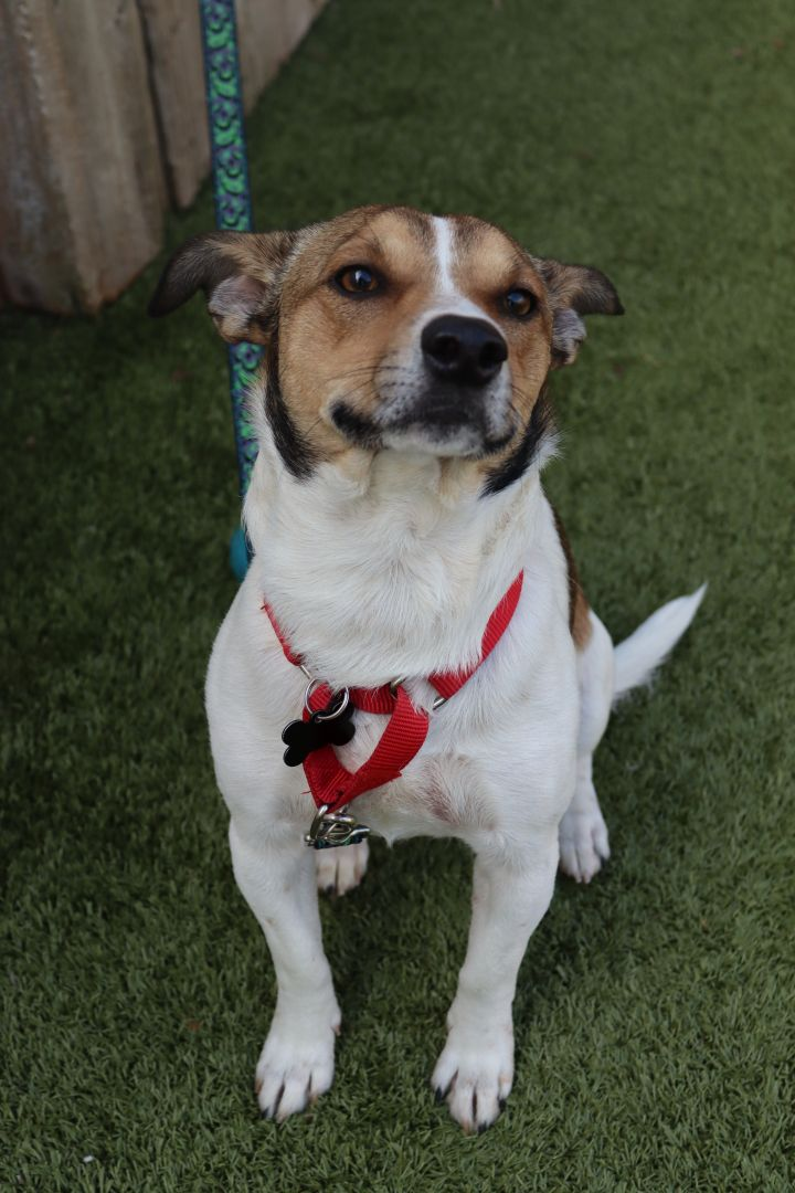 Percy Jackson, an adoptable Terrier Mix in Springfield, MO