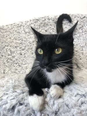 Meet Twinkle also known as Twinkie Twinkle is a beautiful tuxedo with a very loving personality H