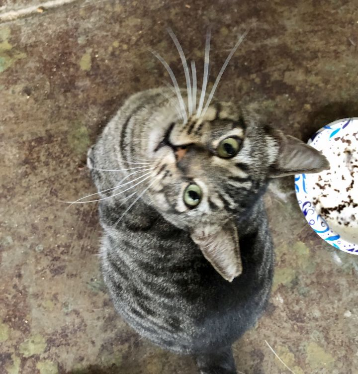 Mr Stewart, an adoptable Tabby & Domestic Short Hair Mix in Mission Viejo, CA