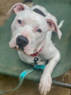 Chip an absolutely beautiful 15 month old bully breed mix who came into rescue after he was saved fr