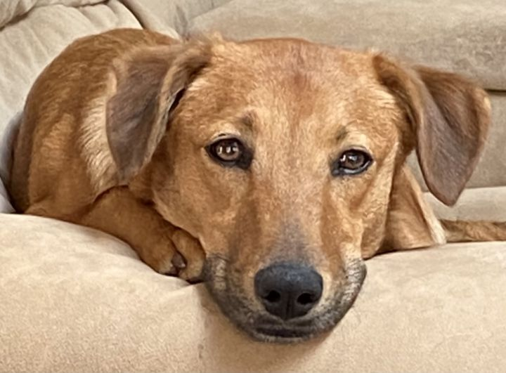 Chiffon, an adoptable Hound & Retriever Mix in Long Beach, NY