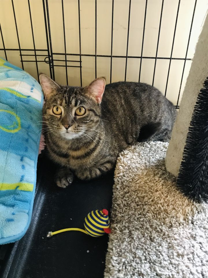 Olivia, an adoptable Domestic Short Hair in Youngwood, PA