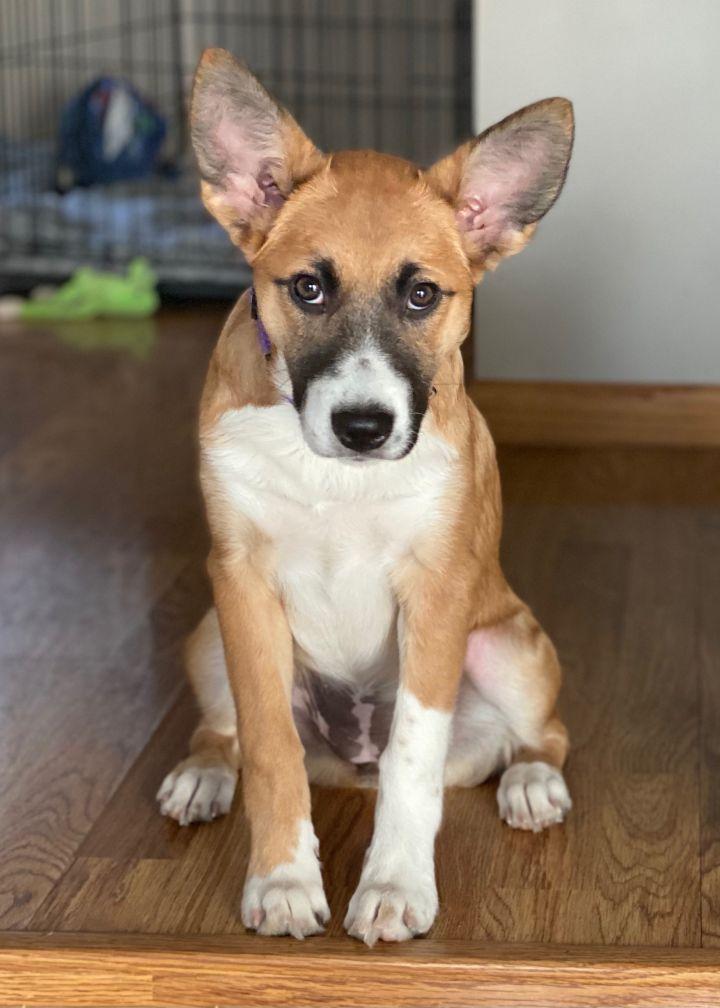 Grape, an adopted Shepherd Mix in Omaha, NE