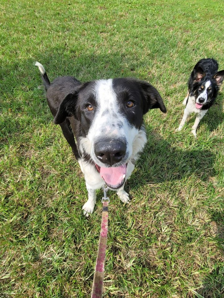 Elvis, an adoptable Border Collie Mix in Chestertown, MD