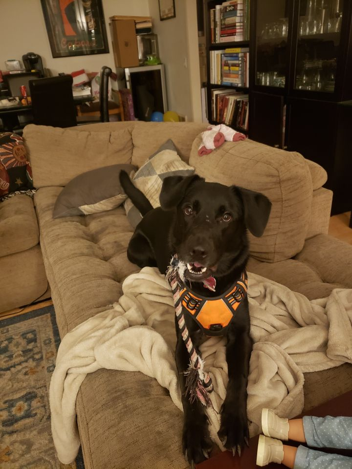 Willow, an adoptable Labrador Retriever & Shepherd Mix in Hoffman Estates, IL